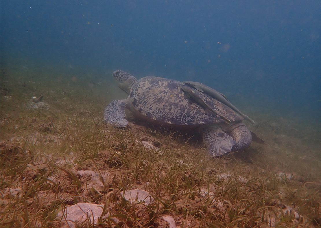 Two endangered species of sea turtle live in the waters around Sakatia Island, Madagascar. Credit: Jax137.